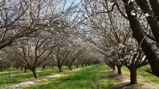 Shafter Almond Orchard (FARM)
